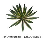 agave plant isolated on white... | Shutterstock . vector #1260046816