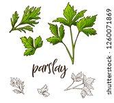hand drawn parslay herb.... | Shutterstock .eps vector #1260071869