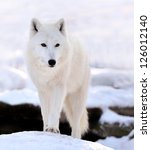 Beautiful Wild White Wolf In...
