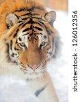 beautiful wild siberian tiger... | Shutterstock . vector #126012356