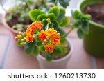 kalanchoe  kalanchoe... | Shutterstock . vector #1260213730