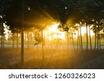 rubber plantation and sunbeam. | Shutterstock . vector #1260326023