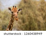 portrait of a reticulated... | Shutterstock . vector #1260438949