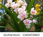 orchidaceae. vanda orchids are... | Shutterstock . vector #1260653863