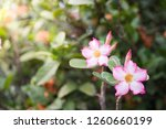 pink flower and nature... | Shutterstock . vector #1260660199