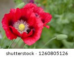 A Bumble Bee On Inside A Red...