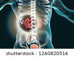 kidney and adrenal glands... | Shutterstock . vector #1260820516