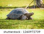 Aldabra Tortoise  Aldabrachely...