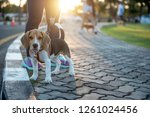 Stock photo baby dog walking exercise with owners for health concept in the evening on the park background 1261024456