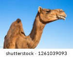 camels in desert | Shutterstock . vector #1261039093