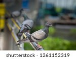 pigeons cling on stainless rail ... | Shutterstock . vector #1261152319