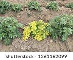 potato plant with virus showing ...   Shutterstock . vector #1261162099