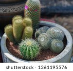 close up of cactus in the pot  | Shutterstock . vector #1261195576