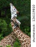 giraffes necking each other | Shutterstock . vector #126119810