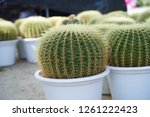 close up of cactus in the pot  | Shutterstock . vector #1261222423