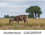 Wild Deer In The Colorado Grea...