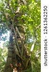 tree in the amazon rainforest... | Shutterstock . vector #1261362250