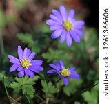 balkan anemone  grecian... | Shutterstock . vector #1261366606