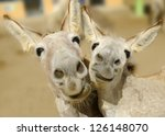 Two Cream Colored Donkeys Pose...