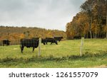 black cows behind a fence on a... | Shutterstock . vector #1261557079