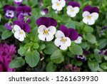 close up of purple japanese... | Shutterstock . vector #1261639930