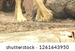 Close up of lion's legs in...