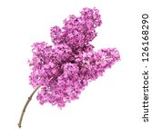 Pink Lilac Branch Isolated On...