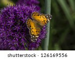 American Painted Lady Or...