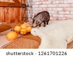cute black small eared pig on... | Shutterstock . vector #1261701226