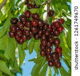 aloaded cherry branch  with... | Shutterstock . vector #1261749670
