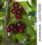 a cherry branch full of red... | Shutterstock . vector #1261750330