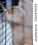 prairie dog in a steel cage. | Shutterstock . vector #1261976593