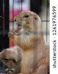 prairie dog in a steel cage. | Shutterstock . vector #1261976599