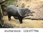 Collared Peccary Known As Wild...