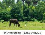 black buffalo eating grass in a ...   Shutterstock . vector #1261998223
