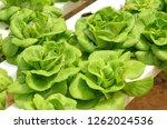 lettuce vegetable growing in... | Shutterstock . vector #1262024536