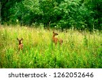 whitetail deer fawn on a... | Shutterstock . vector #1262052646