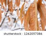 first snow  beautiful orange... | Shutterstock . vector #1262057386