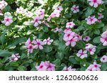 pink madagascar periwinkle in... | Shutterstock . vector #1262060626