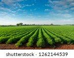 peanut plantation fields with... | Shutterstock . vector #1262144539