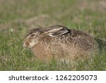 Stock photo european hare brown hare leveret lepus europaeus 1262205073