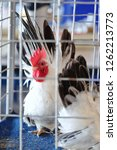 the white chicken in the cage.  | Shutterstock . vector #1262213773