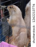 prairie dog in a steel cage. | Shutterstock . vector #1262213776