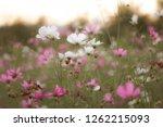 pink cosmos flower | Shutterstock . vector #1262215093