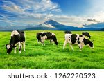 cows eating lush grass on the... | Shutterstock . vector #1262220523