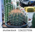close up of cactus in the pot  | Shutterstock . vector #1262227036