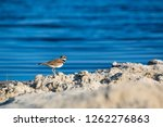 an adult killdeer  charadrius... | Shutterstock . vector #1262276863