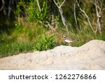 an adult killdeer  charadrius... | Shutterstock . vector #1262276866
