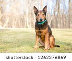 a shepherd terrier mixed breed... | Shutterstock . vector #1262276869