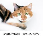 a calico domestic shorthair cat ... | Shutterstock . vector #1262276899